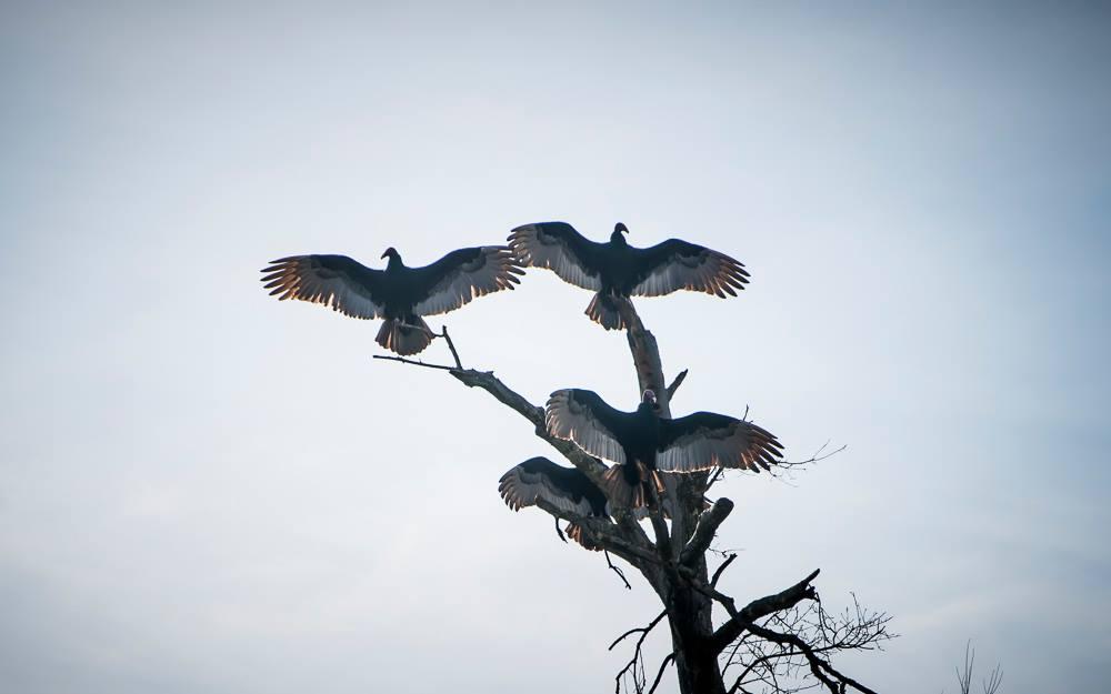 BB 8 vultures